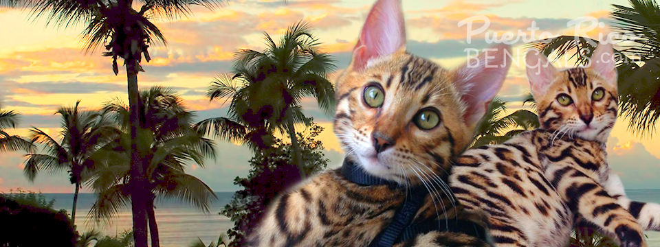 The World's Most Exotic Cat.